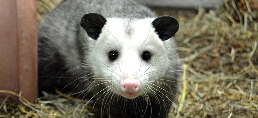 opossum-870x400